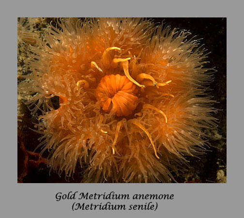 gold metridium anemone