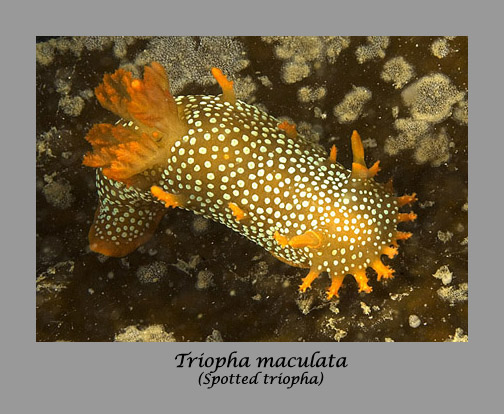 triopha nudibranch