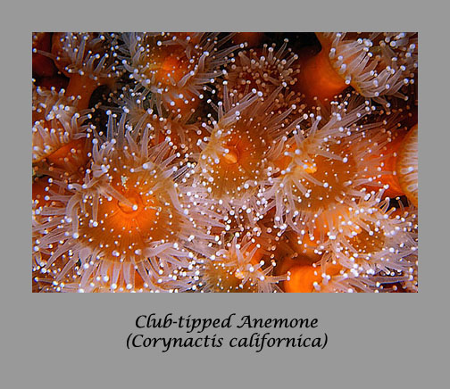 club-tipped anemone