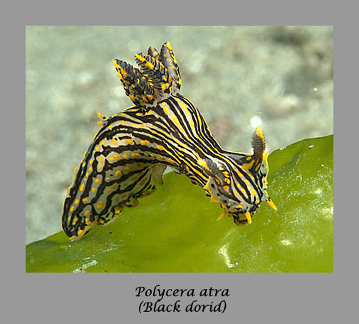 Polycera atra nudibranch