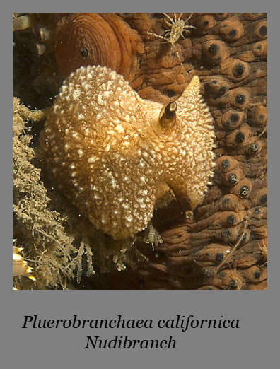 pluerobranchaea californica nudibranch