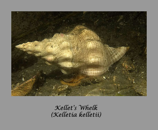 kellets whelk